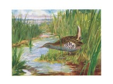 Water Rail, Illustration from 'British Birds' by Kirkman and Jourdain, 1966 Giclee Print by H. Wormald