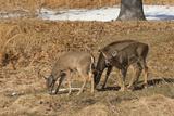 White-Tailed Doe with Fawns in Late Winter, Pennsylvania Photographic Print