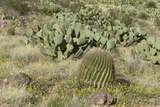 Prickly-Pear, Barrel Cactus and Other Chihuahuan Desert Plants in Southern New Mexico Photographic Print