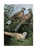 Two Turtle-Doves and a Ring-Necked Dove (Below) Reproduction procédé giclée