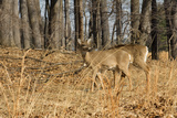 White-Tailed Deer in Late Winter, Pennsylvania Photographic Print