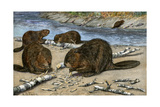 Beavers Feeding on Felled Aspen Trees Photographic Print
