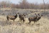 Mule Deer Herd near the Rio Grande, Bosque Del Apache National Wildlife Refuge Photographic Print