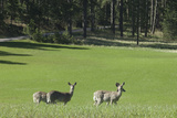 Wild White-Tailed Deer, Custer State Park in the Black Hills, South Dakota Photographic Print