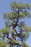 Ponderosa Pine, New Mexico Photographic Print