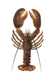 American Lobster, From a Specimen in Eastport, Maine, 1880s Fotografie-Druck