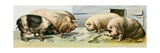 Domesticated Pigs Giclee Print