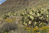 Mexican Poppies and Other Chihuahuan Desert Plants in Southern New Mexico Photographic Print