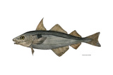 Haddock Specimen Collected at Eastport, Maine, 1872, US Fish Commission Photographic Print