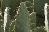 Prickly-Pear Cactus Spines in Southern New Mexico Photographic Print