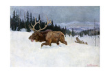 Bull Moose Pursued by Wolves Through a Snowy Landscape Photographic Print