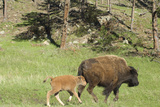 Free-Ranging Bison Mother and Calf on the Grasslands of Custer State Park in Black Hills Photographic Print
