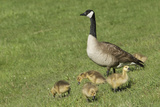 Canada Geese Goslings, Custer State Park in the Black Hills, South Dakota Photographic Print