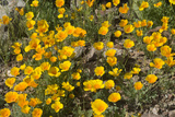 Mexican Poppies Blooming in the Little Florida Mountains, New Mexico Photographic Print