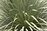 Narrow-Leafed Yucca in Southern New Mexico Photographic Print