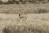Mule Deer near the Rio Grande, Bosque Del Apache National Wildlife Refuge Photographic Print