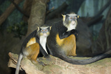 Wolf's Mona Monkey, Bronx Zoo, New York City, 2010 Photographic Print
