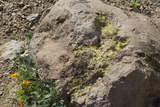 Lichen on An Igneous Boulder in Rockhound State Park, New Mexico Photographic Print