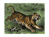 Tiger in the Wild, 1800s Giclee Print