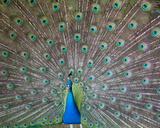 Indian or Blue Peacock, Bronx Zoo, New York City, 2010 Photographic Print