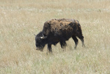 Free-Ranging Bison on the Grasslands of Custer State Park in the Black Hills, South Dakota Photographic Print