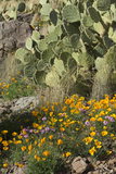 Mexican Poppies, Prickly-Pear and Other Chihuahuan Desert Plants in Rockhound State Park, NM Photographic Print