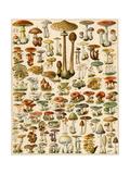Varieties of Mushrooms Reproduction procédé giclée