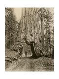Wawona, a Giant Sequoia in Yosemite's Mariposa Grove, California, Circa 1890 Impression giclée