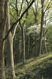 Dogwood Blooming in a Forest near the Tennessee River, Tennessee Photographic Print