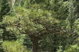 Twisted Young Ponderosa Pine in the Sangre De Cristo Mountains, New Mexico Photographic Print