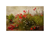 Poppy Garden Giclee Print by David Winston
