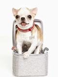 Puppy in Rhinestone Box Photographic Print by Arthur Belebeau