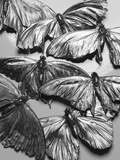 Silvery Moths Photographic Print by Graeme Montgomery