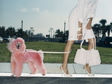 Pink Poodle Photographic Print by Arthur Belebeau