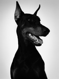Doberman Photographic Print by Alex Cayley