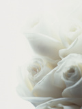White Roses Photographic Print by Alex Cayley