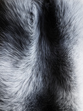 Fur Close-up II Photographic Print by Graeme Montgomery