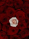 Red and Pink Roses Fotodruck von Graeme Montgomery