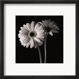 Gerber Daisies I Indrammet giclee-tryk af Michael Harrison