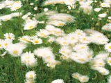 Daisy Flowers with Blur Motion Photographic Print by Green Light Collection