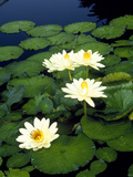 Lily Pads Floating on Water Photographic Print by Green Light Collection
