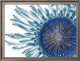 The Pigment of a Blue Button Jellyfish Blocks Ultraviolet Rays Framed Photographic Print by David Liittschwager