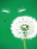 Dandelion Seeds Flying, Close-up View Photographic Print by Green Light Collection