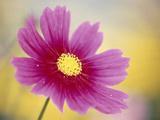 Close-up of a Cosmos Flower Fotodruck von Green Light Collection