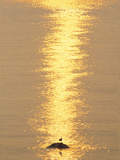 Silhouetted Bird And Backlit on Water Surface Lámina fotográfica por Green Light Collection