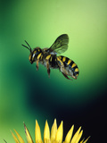 Wasp Hovering Over a Flower Photographic Print by Green Light Collection