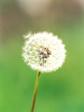 Dandelion Seeds, Close-up View Photographic Print by Green Light Collection