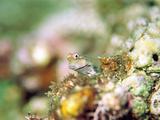 Maledivian Blenny (Ecsenius Minutus) Fish in Water Lámina fotográfica por Green Light Collection