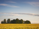 Mustard Field at Dusk, Soe, Lake Vortsjarv, Estonia Photographic Print by Green Light Collection