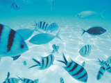 School of Fish, Undersea View Photographic Print by Green Light Collection